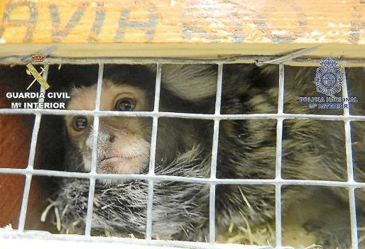 El mono, valorado en unos 600 euros, volvió a manos de Natura Park.