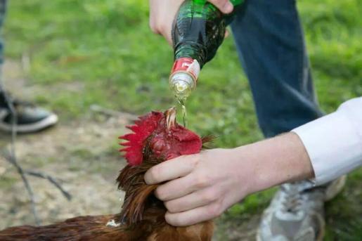 En la imagen se ve como se obliga a un gallo a ingerir alcohol.