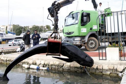 """Un calderón negro (""""cap d'olla negre""""), un cetáceo de la familia Delphinidae, ha muerto tras quedar varado en la mañana de este jueves en el puerto deportivo de Addaia. El animal era una hembra de 4,1 metros de longitud y 547 kilos de peso."""