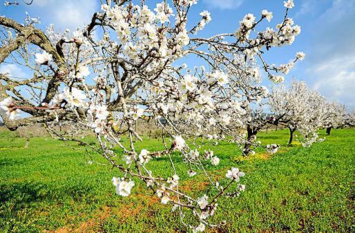 El valle de Corona nos anuncia que la primavera está a punto de llegar a Eivissa.