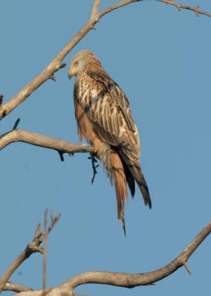 Imagen del Milano Real, ave en peligro de extinción que habita en Sa Comuna de Bunyola.