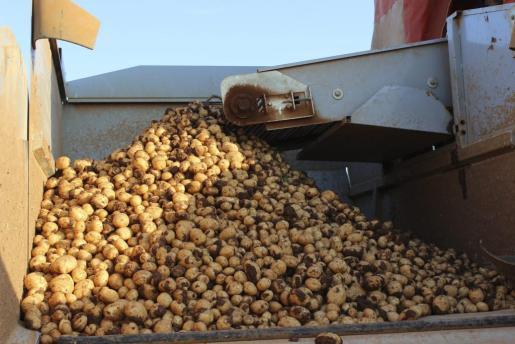 El proceso de maduración de la planta de la patata se ha visto afectado, reduciendose la producción y el tamaño del tubérculo