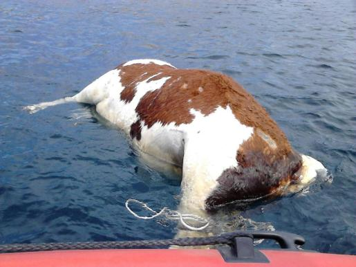 La primera vaca fue hallada cerca del lugar conocido como Pont d'en Gil, en la isla vecina.