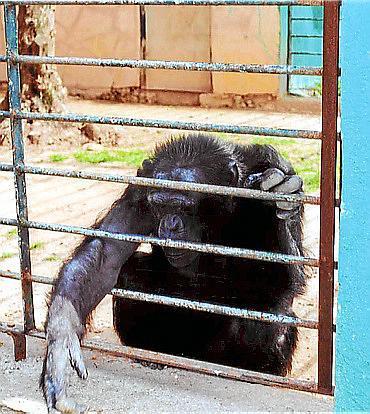 Imagen de archivo del chimpancé en el zoo de Sa Coma.