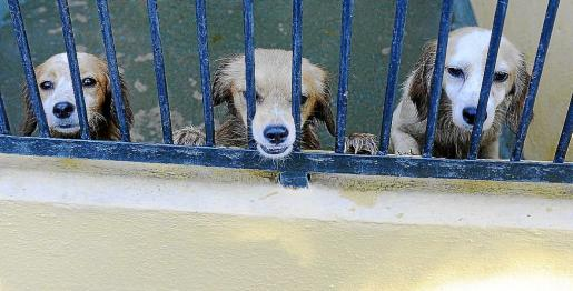 Tres de los 52 perros que fueron intervenidos en un ático del Camp Redó y trasladados a Son Reus.