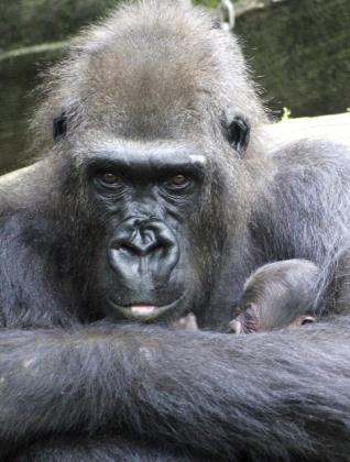"""Fotografía cedida por el Zoo de Barcelona de Machinda con su cría, nacida el pasado 1 de mayo, una de las dos nuevas crías de gorila nacidas en el Zoo de Barcelona, que son nieta y bisnieta de """"Copito de Nieve"""", el gorila albino del que sus descendientes no han heredado su pelaje blanco."""