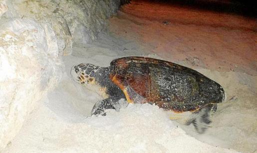 Una imagen de la tortuga Caretta Caretta cuando salió a la playa este miércoles.