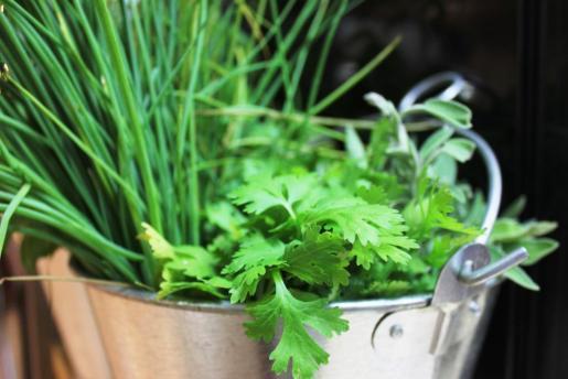 Arriba, cebollino y cilantro. Foto: D.M.