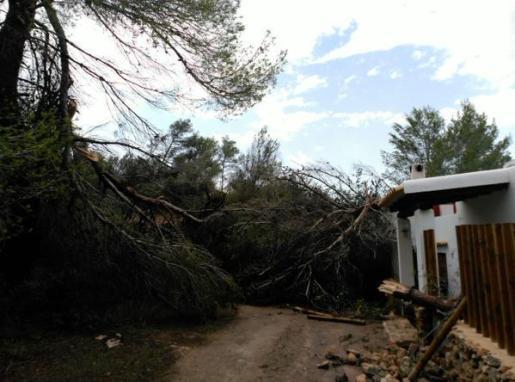 Árbol caído en la carretera de Ibiza a Sant Antoni de Portmany.
