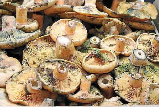 Esta semana estas apreciadas setas han llegado a los mercados de las Pitiüses. Foto: D.M.