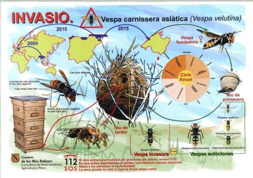 Gráfico sobre la avispa asiática.