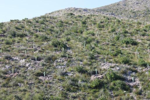 Imagen de la reforestació del parque natural de Sa Duaia.