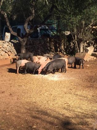 Imagen de la piara de cerdos de la finca de Son Rossinyol de Llubí.