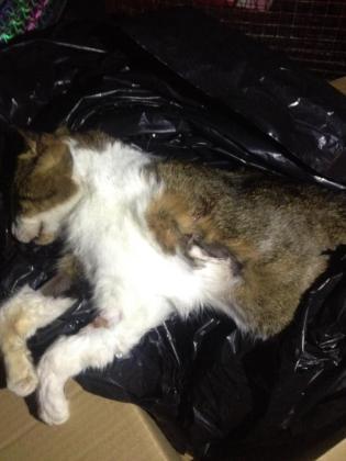 La gata fallecida a disparos en Valldemossa.