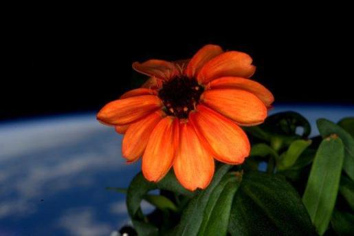 Ésta es la zinnia cultivada en la Estación Espacial Internacional.