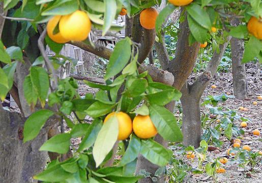 En muchos corrales la imagen de naranjas en el suelo es frecuente.