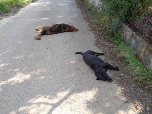 Los animales aparecieron abatidos a tiros en el camino de Can Tomasset, de Selva.