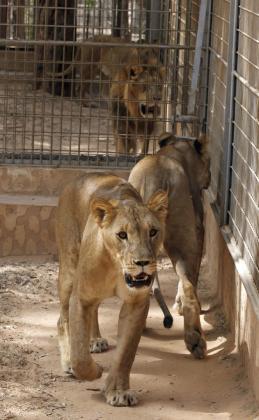Imagen de archivo de dos leonas.