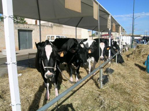 Vacas frisonas en la Fira de Maig de Campos.
