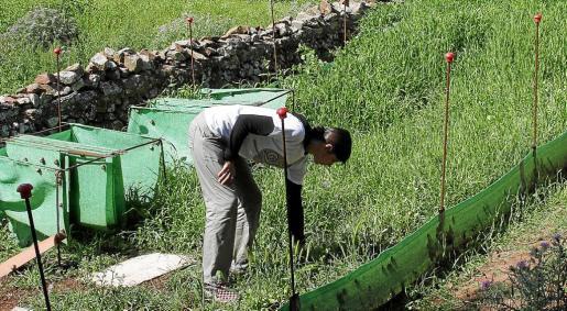 El cultivo se realiza al aire libre en una extensión de 200 metros.