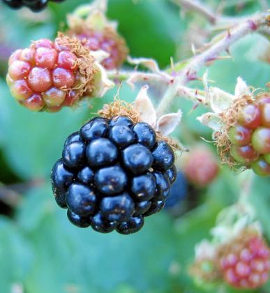 Los frutos rojos son uno de los alimentos que ayuden a combatir los signos de la edad.