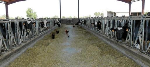 Un total de 147 ganaderías de todas las Balears han empezado a recibir la alfalfa para paliar la sequía que afectó este invierno a los campos.