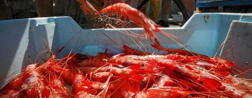 En el Port de Sóller la gamba supone en verano el 80 por ciento de los ingresos de los pescadores.