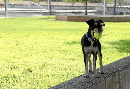 Un perro sin correa en el parque de Son Dameto d'Alt.