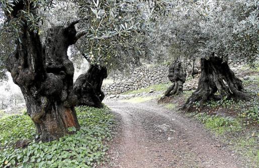 El olivar en Mallorca es uno de los más tradicionales y se remonta a la época prerromana, aunque fue durante la época romana cuando se mejoró la técnica del cultivo del árbol. Una de las características para que tenga el sello de Denominación de Origen Oliva de Mallorca es que el olivo tiene que tener como mínimo 70 años de antingüendad.