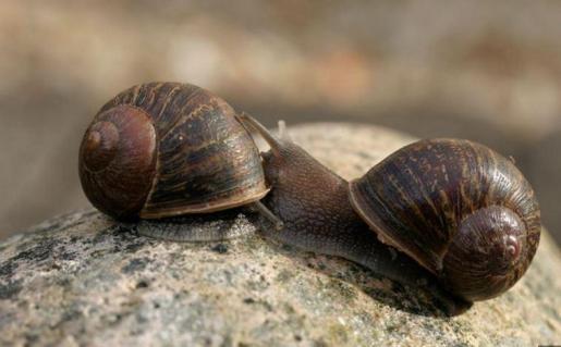 El caracol Jeremy es el de la derecha. Su concha se enrolla hacia la izquierda.