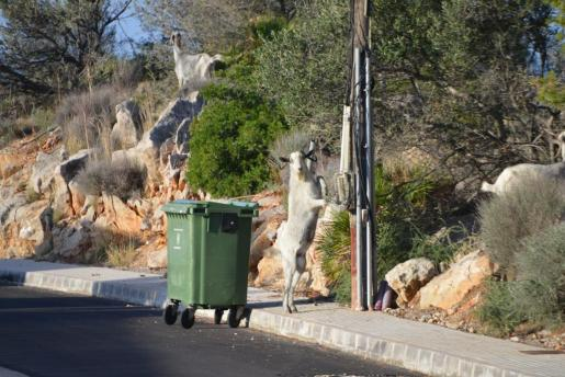 Preocupación entre los vecinos porque las cabras bajan de la montaña y se pasean por las calles de la zona.