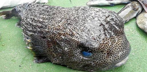 El ejemplar se pescó durante el concurso del Club Náutico Villacarlos de Pesca Submarina.