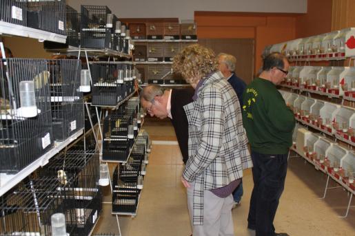 A la exposición ornitológica del Dijous Bo se han presentado más de 700 ejemplares de canarios.