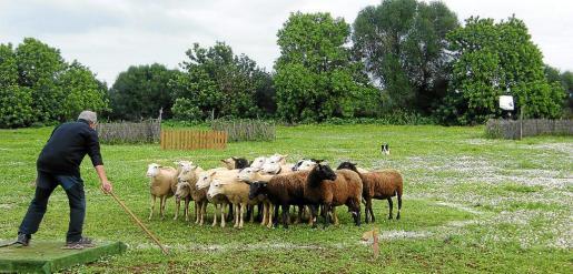 Un jurado analizó las diferentes habilidades de los perros con la guarda de las ovejas.