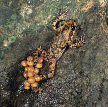 En la imagen, el ferreret una especie protegida en Mallorca.