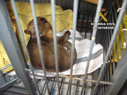 Imagen de una de las mangostas.