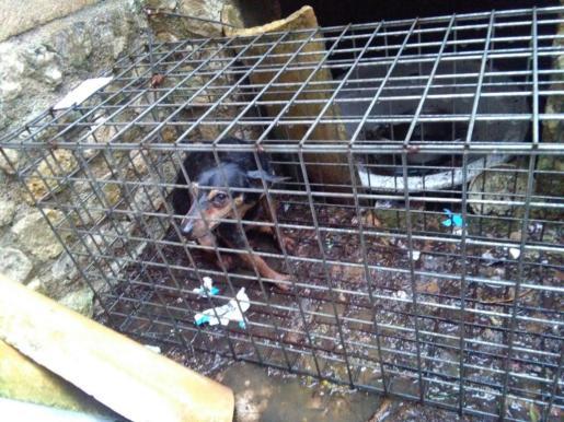 Una perra de la raza 'Rater' atrapada en una trampa para gatos.
