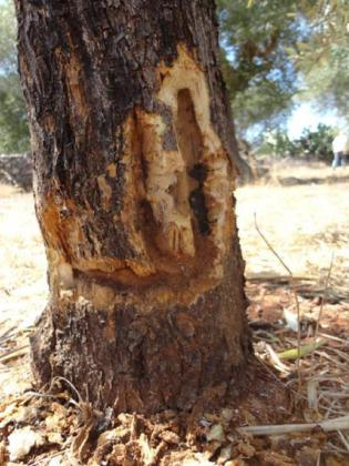 Imagen del tronco de un olivo afectado por la ''Xylella fastidiosa''.