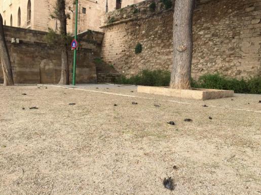 Más de 200 estorninos aparecen muertos en extrañas circunstancias en Dalt Murada.