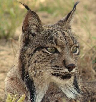 Imagen de uno de los linces ibéricos que habitan el parque nacional de Doñana.