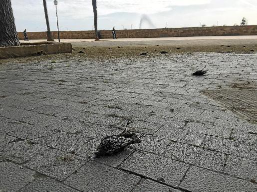 Más de 250 estorninos aparecieron muertos el pasado fin de semana.