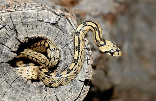 Jorge Moreno confirma que tanto las serpientes de herradura como las de escalera (en la imagen) llegaron a Mallorca desde la Península, normalmente escondidas entre los troncos de árboles ornamentales y olivos mientras hibernan.