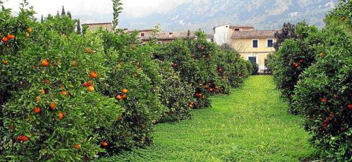 Los huertos de naranjos Sóller y Fornalutx inician un proceso de renovación y además lo podrán hacer sembrando variedades locales rentables.