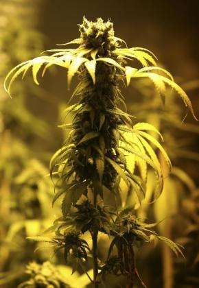 Imagen de una plantación de marihuana en estado de floración.