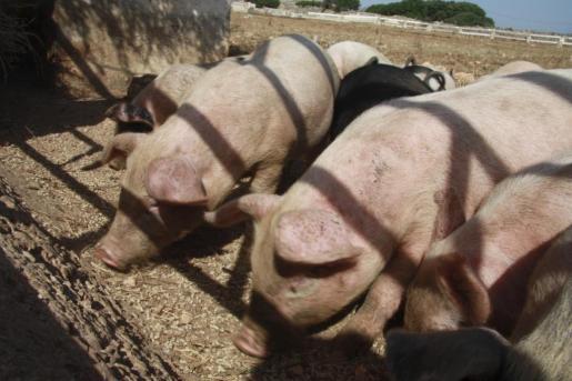 Imagen de archivo de una piara de cerdos.