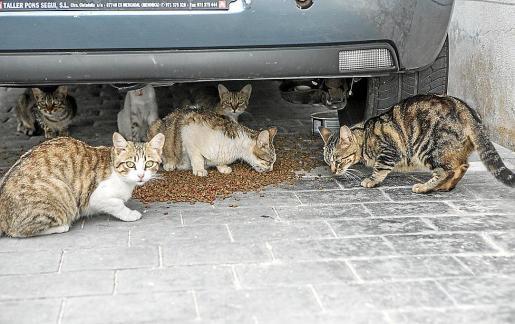 Los vecinos han hecho llegar al Ajuntament de Estellencs sus protestas por la proliferación de felinos.