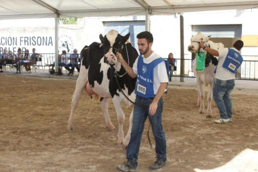 Imagen de archivo del concurso de vaca frisona en Campos.