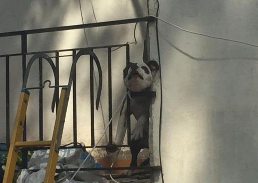 El can había metido la cabeza entre los barrotes del balcón y luego no la podía sacar.