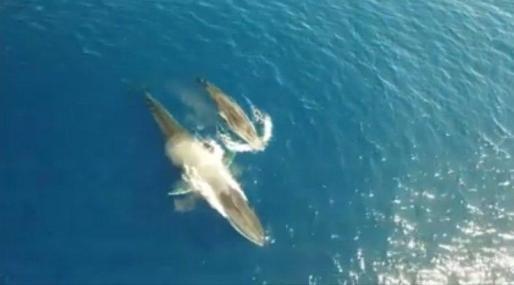 Una ballena, un rorcual común, amamantando a su ballenato frente a la costa catalana del Garraf.
