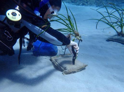 Red Eléctrica y el IMEDEA presentan los resultados del proyecto de recuperación de 'Posidonia oceanica'.